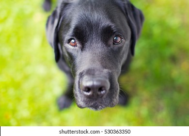 Black Labrador Retriever Looking Up Straight into Camera