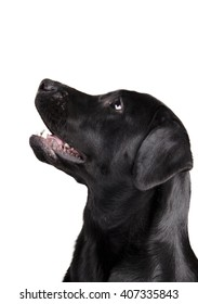 Black Labrador Retriever looking up in surprise (isolated on white)