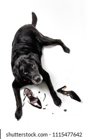A black Labrador Retriever looking very guilty after chewing up some high heels.
