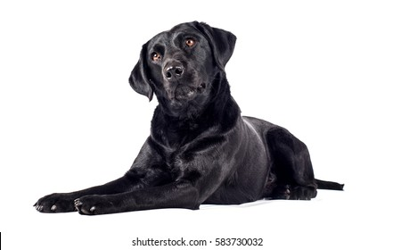 Black Labrador Retriever on white studio background