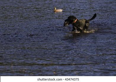 a black Labrador retriever pauses as he returns a duck to the hunter.