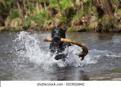 A black labrador retriever is playing in the water