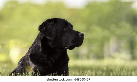 Black Labrador retriever Portrait Outdoor!