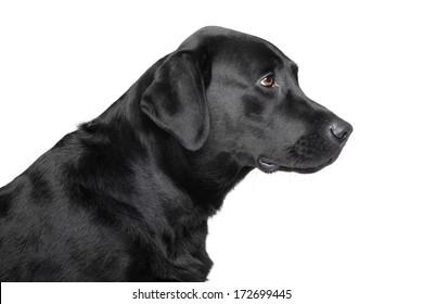 Black Labrador retriever profile portrait. Isolated on white
