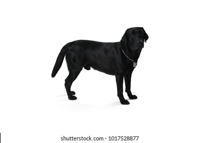 Black labrador retriever puppy 1 year old, standing isolated on white background