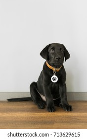 Black labrador retriever puppy, 5 months old, sitting in front of the wall