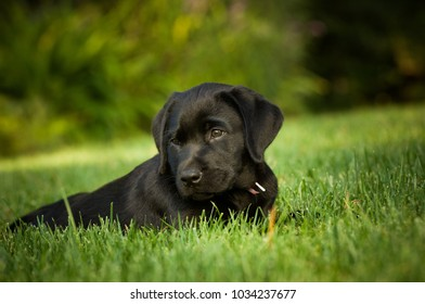 Black Labrador Retriever puppy dog outdoor portrait lying in grass