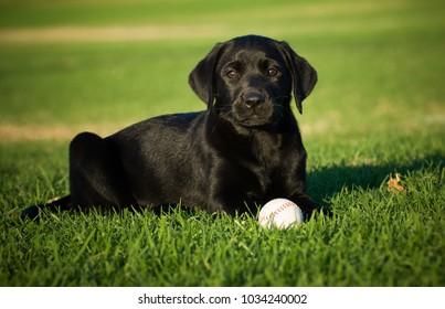 Black Labrador Retriever puppy dog outdoor portrait lying down in grass with baseball