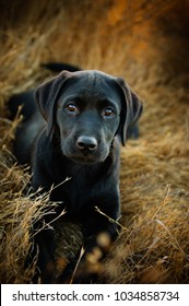 Black Labrador Retriever puppy dog outdoor portrait in field