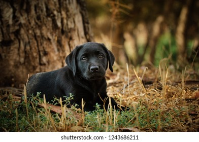 Black Labrador Retriever puppy dog lying down in nature by a tree