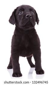 black labrador retriever puppy dog looking up to something