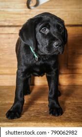 Black Labrador retriever puppy sitting on a wooden bench