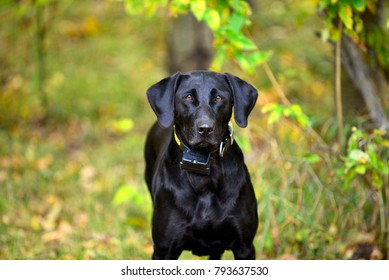 Black Labrador Retriever ready for hunting