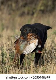A Black Labrador Retriever with a Rooster Pheasant in South Dakota