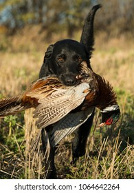 A Black Labrador Retriever with a Rooster Pheasant