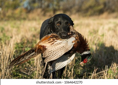 A Black Labrador Retriever with a Rooster Pheasant