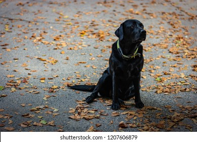 Black Labrador Retriever sitting on the gray ground and looking right during autumn, dog has green collar, orange leaves are around