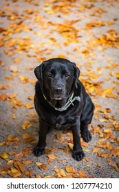 Black Labrador Retriever sitting on the gray ground and looking forward during autumn, dog has green collar, orange leaves are around