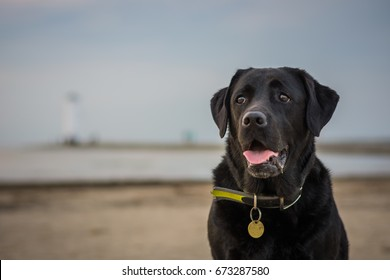 Black Labrador Retriever sitting on the beach and breathing with tongue hanging out, lighthouse is in the background, in Swinemünde (Poland)