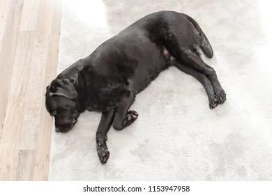 Black Labrador Retriever Sleeping Across on a Carpet