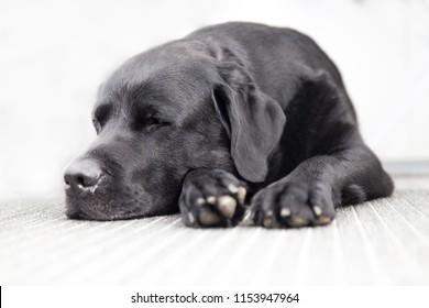 Black Labrador Retriever Sleeping on a Carpet