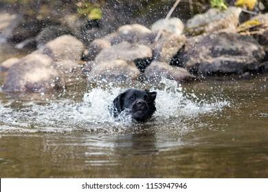 Black Labrador Retriever Splashing Water