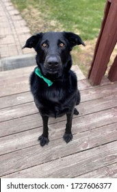 Black Labrador Retriever Wearing a Green Bow Tie Sitting on the Deck Waiting for His Date.