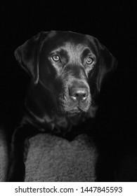 Black Labrador retriever black / white