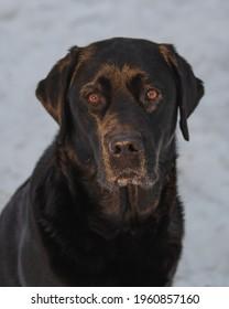 Black labrador retriever with white background
