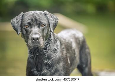 Black Labrador In River, Wales