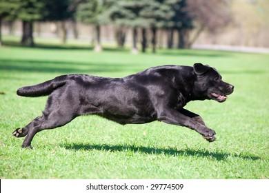 Black labrador running in the park
