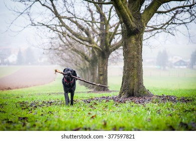 Black Labrador is running with a stick