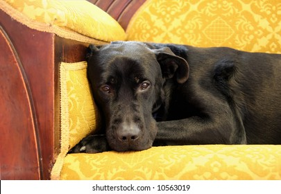 Black Labrador sitting on the couch