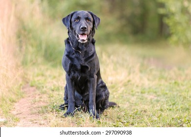 Black labrador is sitting on the grass facing the camera.