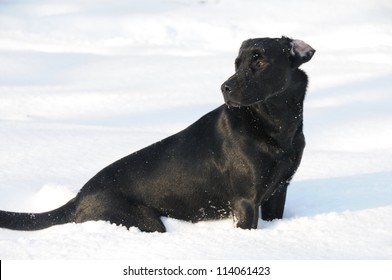 Black labrador sitting in snow
