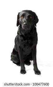 Black Labrador sitting in a studio