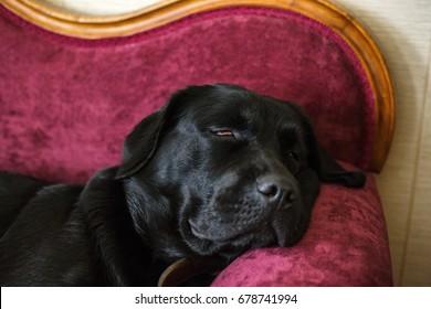 Black labrador sleeps on an antique sofa