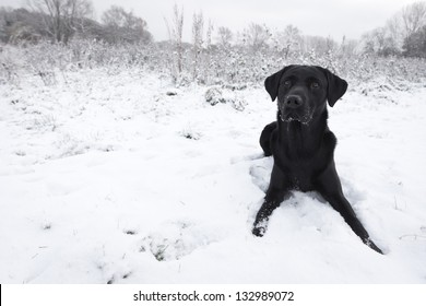 Black Labrador in snow