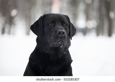 black labrador in the snow