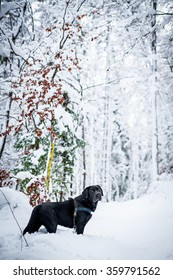 A black Labrador is standing in the snow