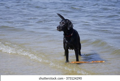 Black Labrador standing in the water and guarding a huge stick