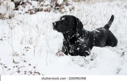 A black labrador walks on a snowy road on a winter frosty day.