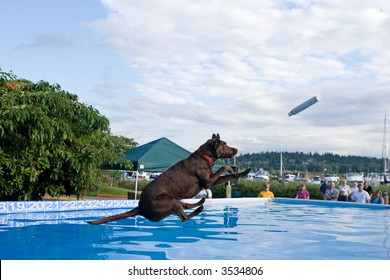 Black Labradore Retriever dock diving. This is a very new and rapidly growing sport.