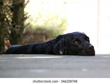 Black Labrador/Retriever