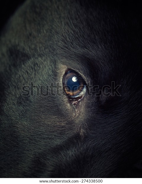 A black Labradors eye close up in a vintage style