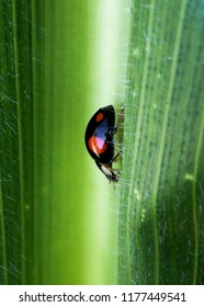 Black ladybug walking down a leaf, harlequin ladybug, harlequin ladybird, wallpaper upright