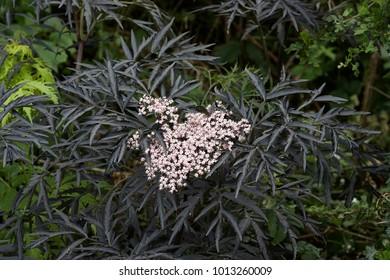 A black leaved Sambucus  in a hedge.