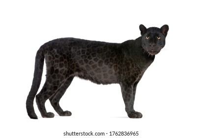 Black Leopard (6 years) in front of a white background, remasterized