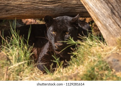 A black leopard in captivity. Also called a black panther. It is a melanistic color variant of a leopard, Panthera pardus