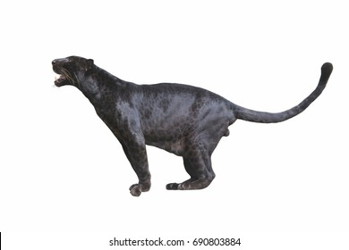 Black Leopard isolated on white background